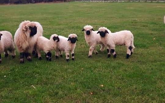 Juodanosės avys