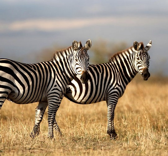 Zebrai